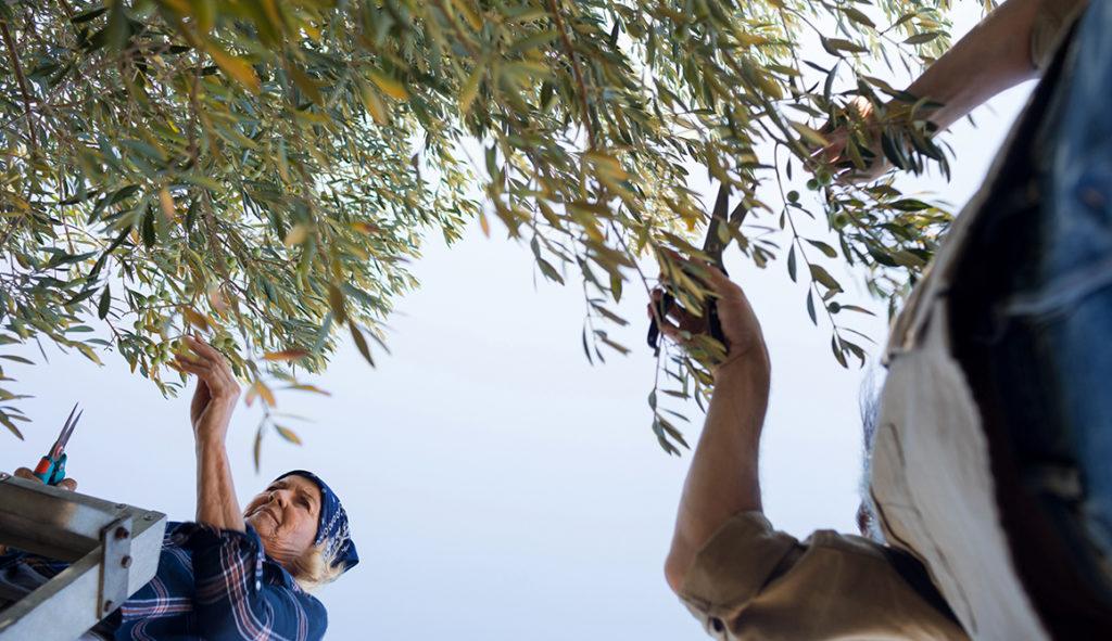 Poda de olivos Cortafuegos Verdes
