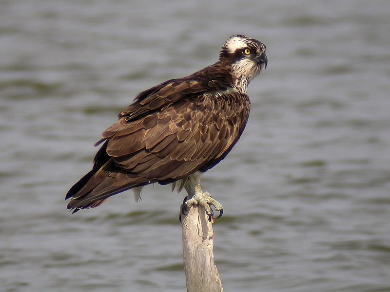 Aguila pescadora2