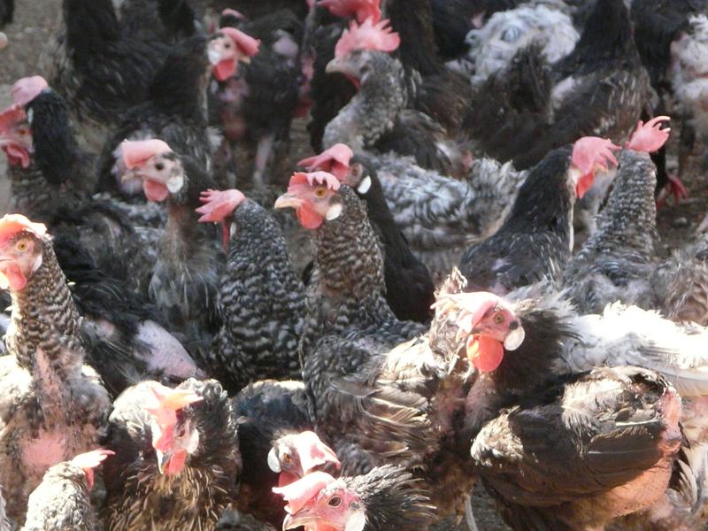 Segunda Remesa de gallinas del INIA (1)