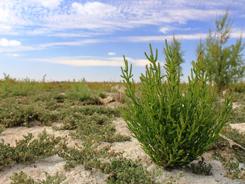 Vegetación y sal. Laguna Larga de Villacañas. FGN