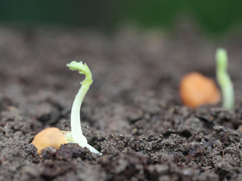 Chickpea Seedling