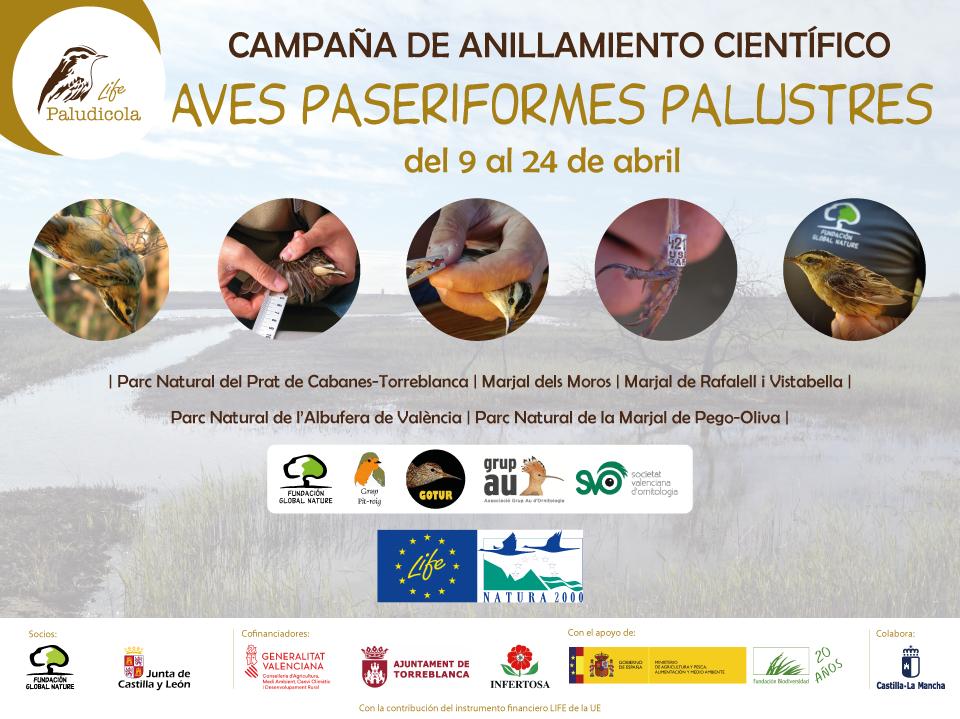 Comienza la campaña de anillamiento de aves palustres en distintos humedales en la Comunidad Valenciana