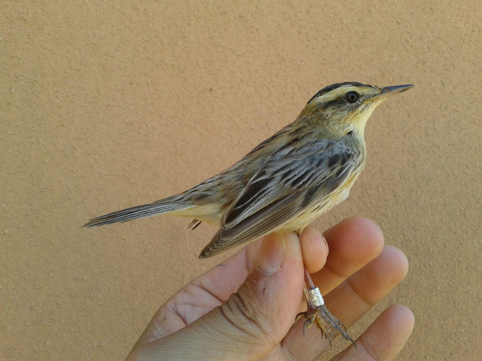 Torreblanca acogerá un taller de expertos en aves palustres amenazadas el 21 y 22 de abril