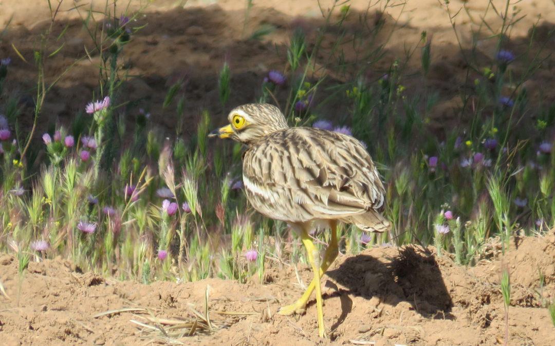 """El proyecto LIFE Estepas de La Mancha """"toma el pulso"""" a poblaciones de aves esteparias en cuatro ZEPA de Castilla-La Mancha"""