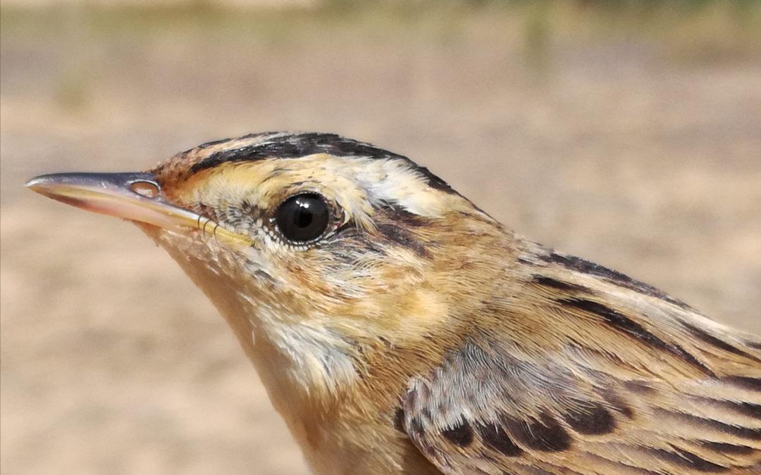 El carricerín cejudo, una de las aves más amenazadas del mundo, descansa en las marjales de la Comunidad Valenciana