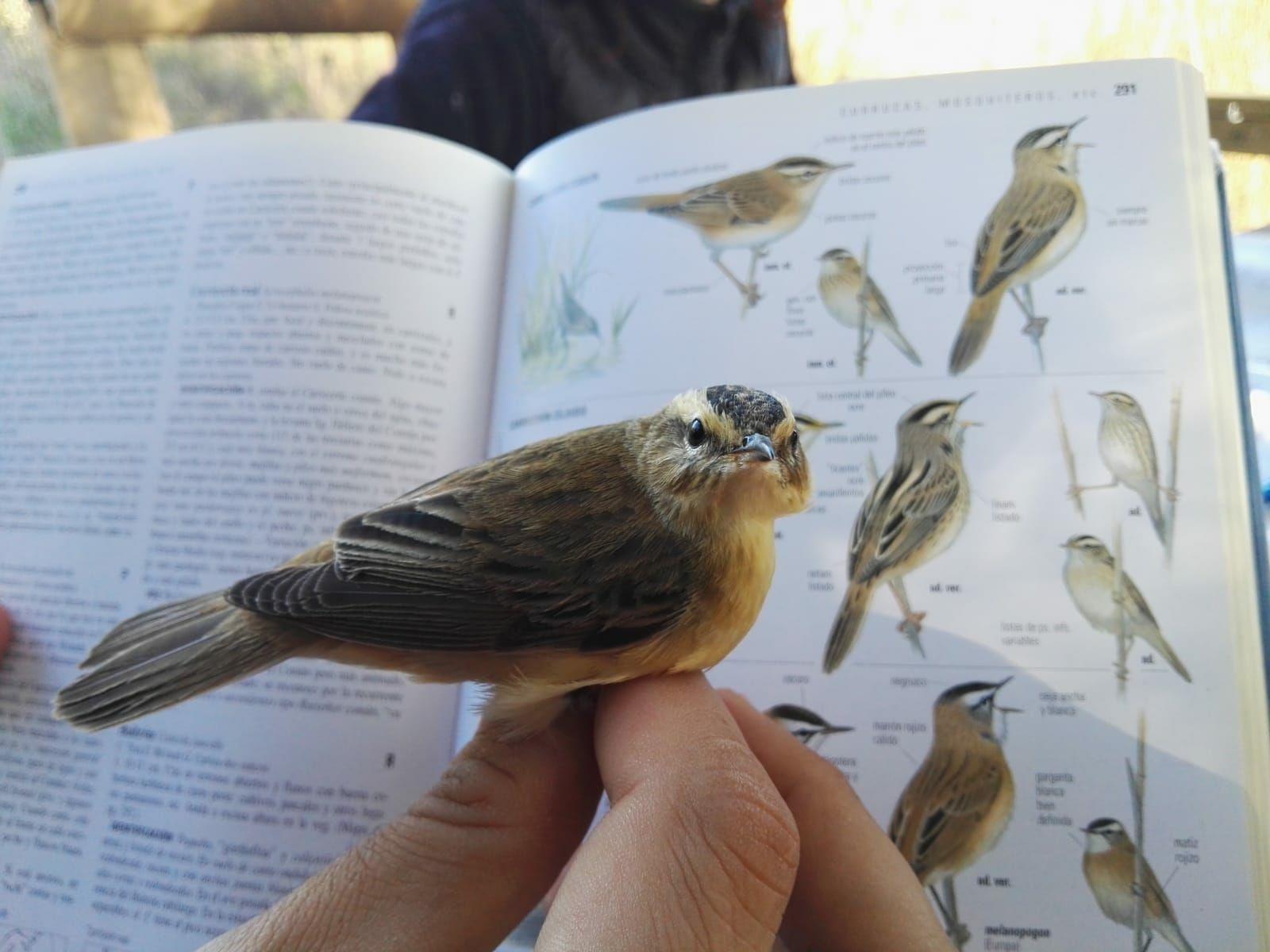 Campañas de anillamiento permitirán conocer a las aves de los humedales de Castilla-La Mancha