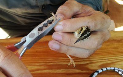 El carricerín cejudo, una de las aves más amenazadas del mundo, descansa en las lagunas de Tierra de Campos