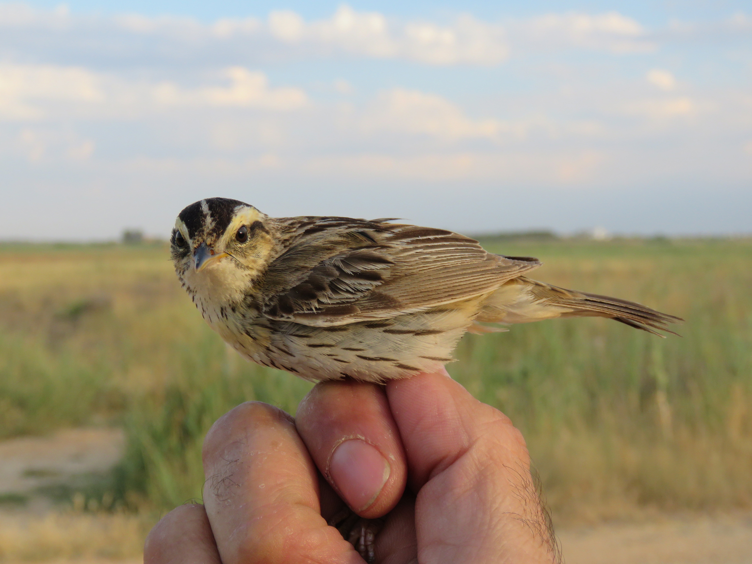 La Mancha Húmeda es el lugar de descanso de una de las aves más amenazadas del mundo