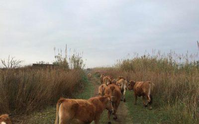 Las vacas vuelven al Part de Cabanes-Torreblanca tras 25 años sin rebaños