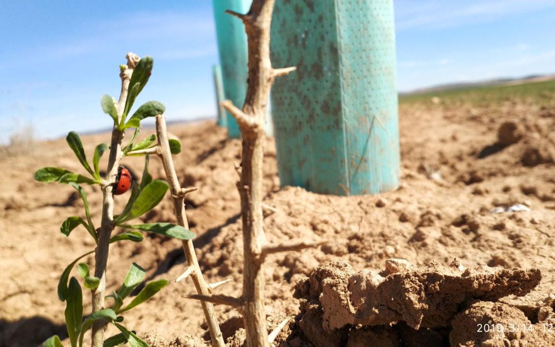 Plantados 16 km de setos en parcelas agrarias para proteger a las aves esteparias