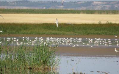 La pagaza piconegra cría en la provincia de Palencia tras diez años