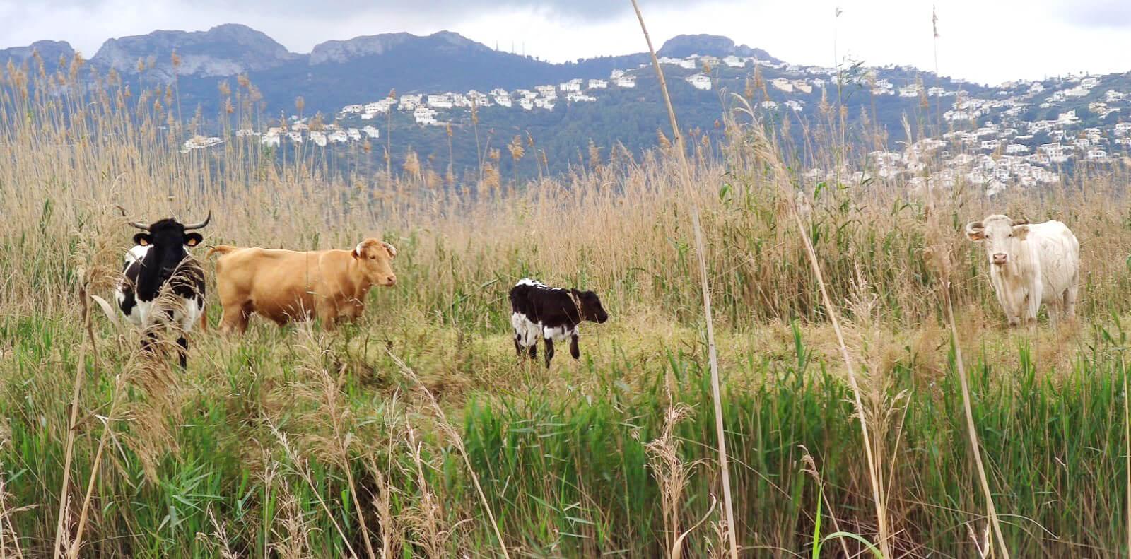 La ganadería vacuna vuelve a la Marjal de Pego – Oliva tras 15 años sin rebaños