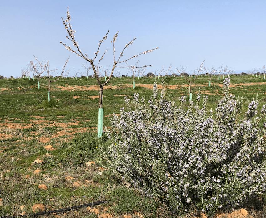 La producción de almendros y pistachos en cultivo ecológico se consolida en Castilla La Mancha