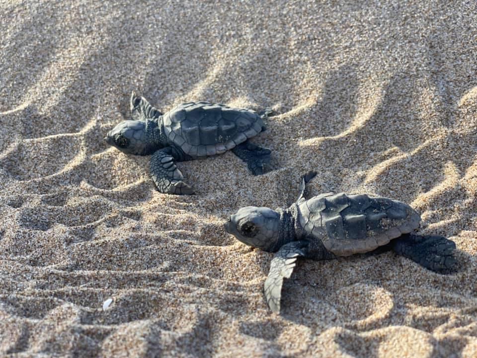 Nacen y se liberan las tortugas marinas del nido de Cullera