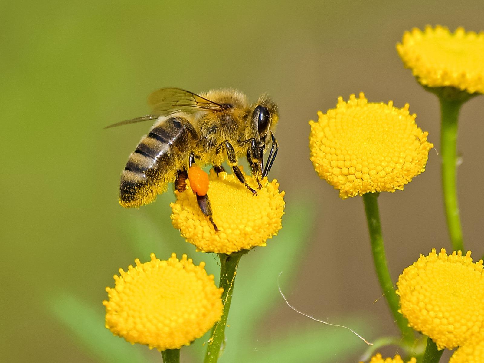 Redescubriendo el papel de las abejas en la agricultura