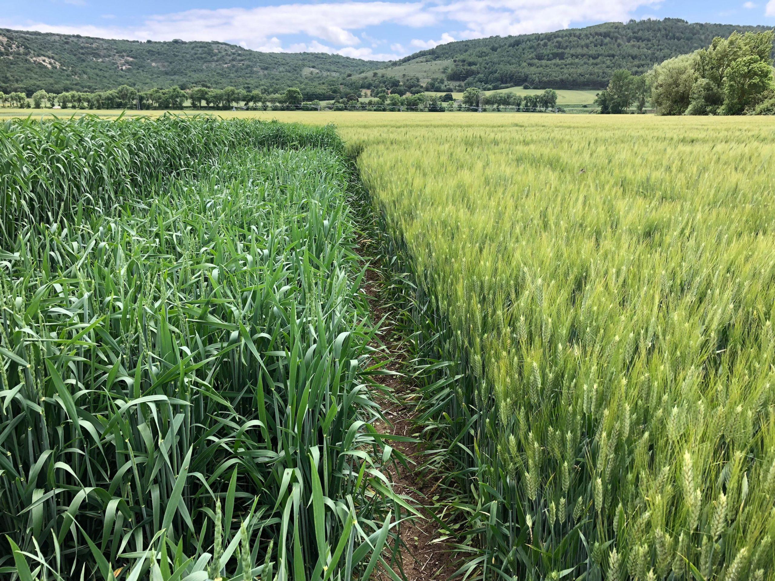 Diez claves para adaptar tu cultivo de cereal al cambio global